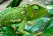 Pozor na podvodného chameleona. Tváří se jako operátor a posílá faktury